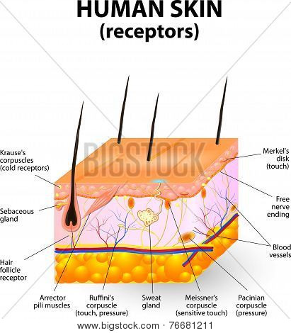 cross section human skin