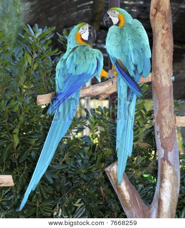 blaue und gelbe Ara Vogel Couple in love