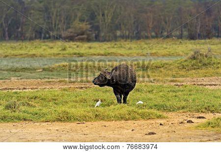 Buffalo in national park