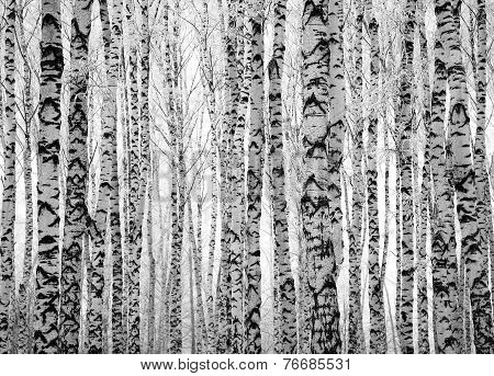 Winter Trunks Birch Trees