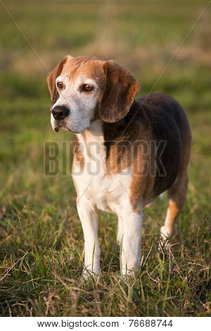 Pedigree proficient foxhound beagle on meadow 	Pedigree proficient foxhound beagle on meadow