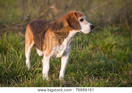 Pedigree proficient foxhound beagle on meadow Pedigree proficient foxhound beagle on meadow