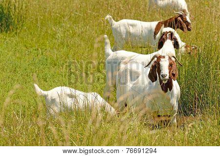 Boar Goat