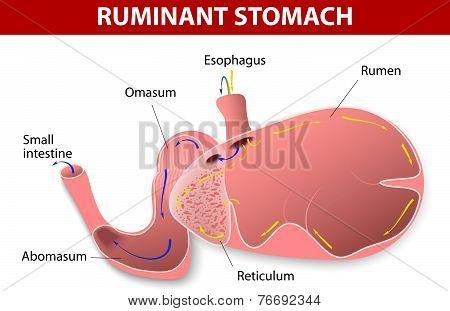 Ruminant stomach.
