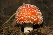 picture of agar  - Closeup of red fly agaric mushroom growing in forest - JPG