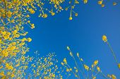 picture of mustard seeds  - Bloom of yellow flowers of mustard plants rising into a blue sky - JPG
