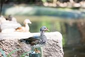 picture of boggy  - Female Duck standing on the wooden pole - JPG