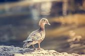picture of boggy  - Female Duck standing on the rock near the river - JPG