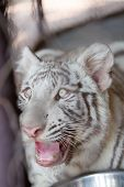 foto of white tiger cub  - close up of Young White Tiger is roaring - JPG