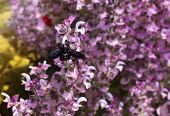 Постер, плакат: Blue Carpenter Bee