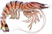 picture of tiger prawn  - Tiger prawn - JPG