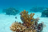 image of damselfish  - coral reef with hard coral and exotic fishes white - JPG