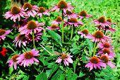 image of immune  - Echinacea purpurea  - JPG