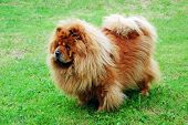 Red Chow Chow Dog On A Green Grass poster