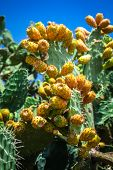 pic of prickly pears  - Prickly pear cactus plant  - JPG