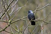 pic of omnivore  - Crow on a branch in the city park - JPG