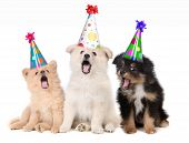 stock photo of dog birthday  - Humorous Puppies Singing Happy Birthday Song Wearing Silly Hats - JPG