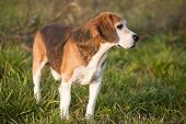 image of foxhound  - Beautiful purebred smart beagle hunting dog in summer pasture - JPG