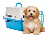 pic of blue animal  - Cute happy reddish havanese puppy dog is sitting before a blue and gray pet crate and looking at camera isolated on white background - JPG