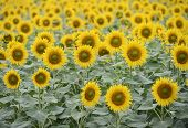 image of sunflower  - Sunflower field