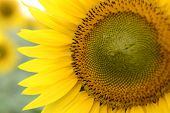 stock photo of common  - Close up of the sunflower.