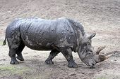 pic of afrikaner  - White Rhinoceros in its habitat covered in mud - JPG