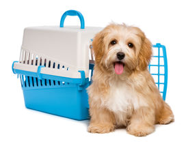 pic of little puppy  - Cute happy reddish havanese puppy dog is sitting before a blue and gray pet crate and looking at camera isolated on white background - JPG