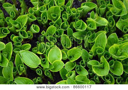 Green Hosta Shoots In Garden