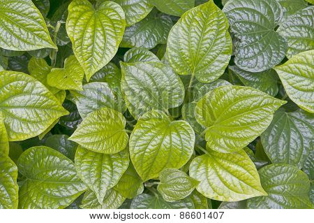 Green Leaves Of Piper Betle Or Betel