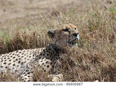 Cheetah rest
