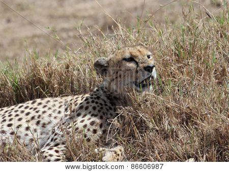 Cheetah rest