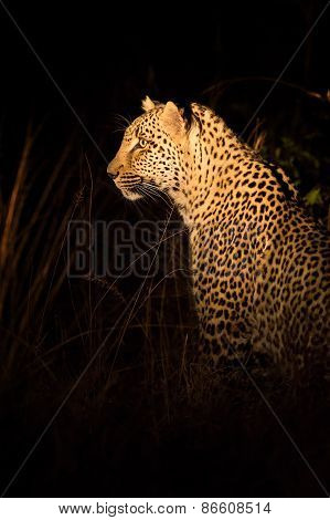 Lone Leopard Hunting Under Cover Of Darkness