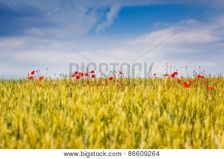 Wheat field ripening in a sunny day. White fluffy clouds. Ukraine, Europe. Beauty world.
