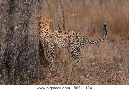 Lone Leopard Marking His Territory On Tree To Keep Others Out
