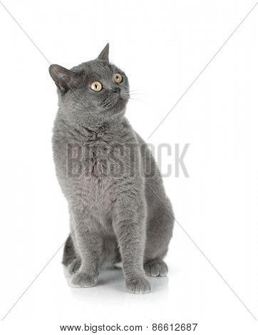 Sitting grey cat. Isolated on white background