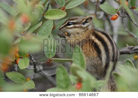 Least Chipmunk Eating A Berry - Jasper National Park, Canada