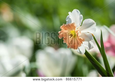 Closeup Of Daffodil Flower Blooming In Flowerbed
