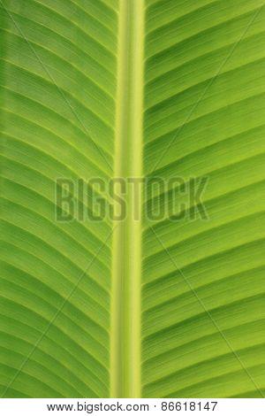 Vertical Banana Leaf Texture