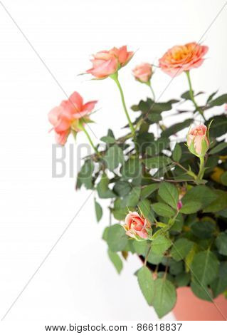 Beautiful Rosebush In A Pot
