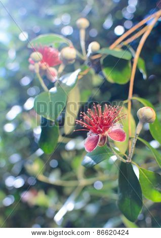 Flower of feijoa tree