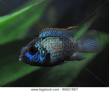 Aquarium fish. Cichlidae