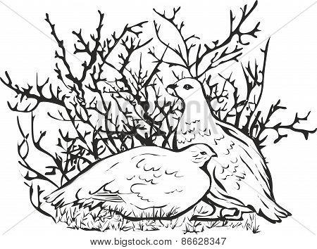 Partridge polar.