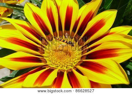 Bee On Gazania Flower