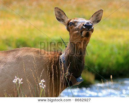 Elk cow collared