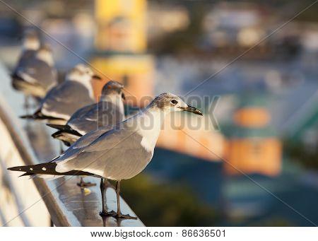 Nassau Seagulls