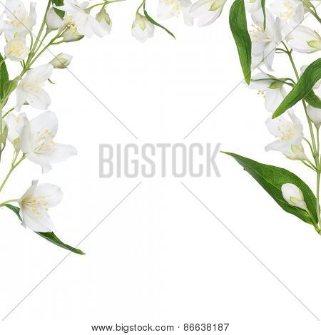 half frame of jasmin branch with flowers isolated on white background