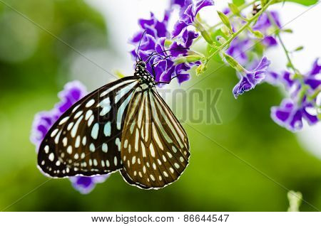 Close Up Blue Tiger Butterfly Or Tirumala Hamata