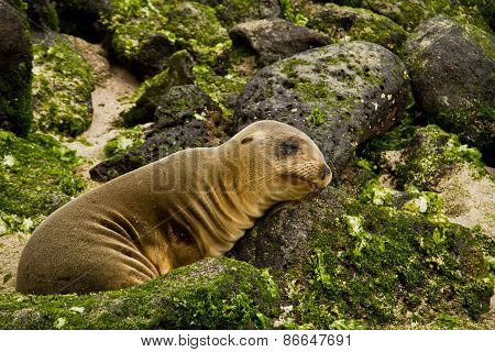Portrait of cute brown baby sea lion in San Cristobal, Galapagos Islands