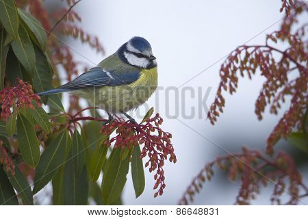 blue tit perched on a branch, Vosges, France
