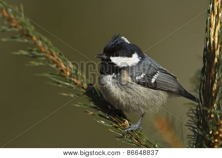 Periparus ater, coal tit perched on a fir tree branch, Vosges, France